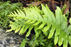 Southern Polypody Fern. Polypodium cambricum Stock Image