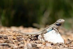 Southern Prairie Lizard, Sceloporus undulatus Royalty Free Stock Photos
