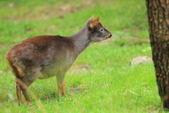 Southern pudu Royalty Free Stock Photography