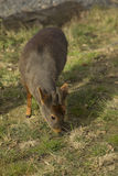 Southern Pudu grazing Stock Photography