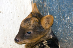 Southern pudu (Pudu puda) baby. Portait of a very young southern pudu Stock Photo