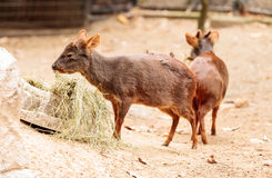 Southern pudu scientifically named Pudu pudu Stock Photos
