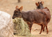 Southern pudu scientifically named Pudu pudu Stock Photography