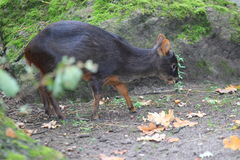 Southern pudu. Standing on the soil royalty free stock photo