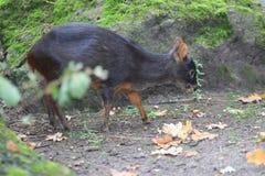 Southern pudu Royalty Free Stock Photo