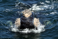 Southern R Whale Callosities. A southern right whales near Hermanus South Africa. Note the unusually large callosities Stock Image