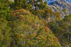 Southern Rata Tree Royalty Free Stock Images