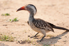 Southern red-billed hornbill Stock Images