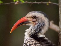 Southern red-billed hornbill Stock Image
