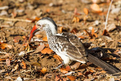 Southern Red-billed Hornbill Scans Ground. A Southern Red-billed Hornbill Tockus rufirostris searches for food on the ground in Kruger National Park in South Royalty Free Stock Image