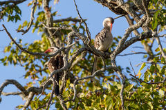 Southern Red-billed Hornbills Perching. Two Southern Red-billed Hornbills Tockus rufirostris perch in a mopane tree in Kruger National Park in South Africa stock image