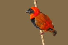 Southern Red Bishop Stock Photos
