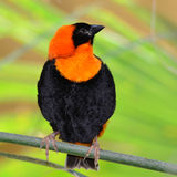Southern Red Bishop Stock Photo