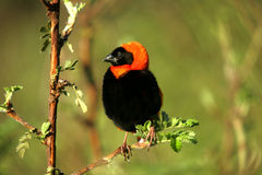 Southern red bishop. Gregarious bird that lives in grassland and savanna and is associated with water Stock Photo