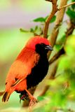 Southern red bishop bird Royalty Free Stock Images