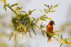 Southern Red Bishop busy building a nest Royalty Free Stock Photo