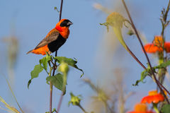 Southern Red Bishop (Euplectes orix) Stock Photography