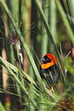 Southern Red Bishop (Euplectes orix) Stock Photo