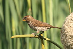 Southern Red Bishop female at nest Royalty Free Stock Image