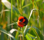 Southern Red Bishop Stock Photography