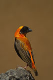 Southern Red Bishop perched on rock Stock Images