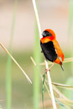 Southern Red Bishop. Stock Images