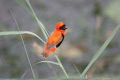Southern Red Bishop. The Red Bishop was in the Botanical Gardens in Durban Royalty Free Stock Photos