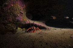Southern red rock lobster. Lone southern rock lobster Jasus edwardsii in darkness of crevice Royalty Free Stock Images