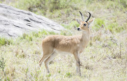 Southern Reedbuck Redunca Standing in Brushy Habitat Royalty Free Stock Photos