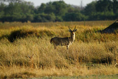 The Southern Reedbuck Royalty Free Stock Photo