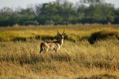 The Southern Reedbuck Royalty Free Stock Photography