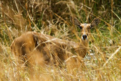 The Southern Reedbuck Royalty Free Stock Image