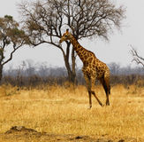 Southern Reticulated Giraffe Royalty Free Stock Photos