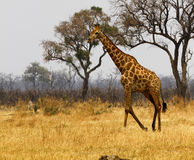 Southern Reticulated Giraffe Stock Image