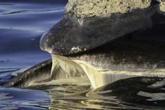 Southern Right Baleen. Southern Right Whale showing Baleen, Walker Bay Hermanus, Western Cape, South Africa royalty free stock photo