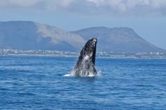 Southern Right Breach. Southern Right Whale breaching near the coast in Walker Bay, Hermanus, South Africa Stock Images