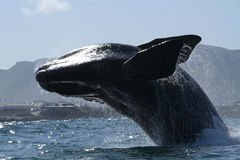 Southern right Breach. A southern right whale near Hermanus, South Africa Stock Photo