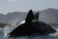 Southern right Breach. A southern right whale near Hermanus, South Africa Stock Photos