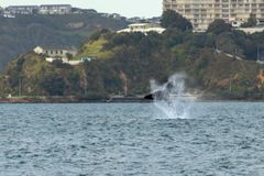 Southern Right Whale Causing A Splash, Wellington New Zealand royalty free stock photography