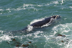 Southern Right whale. Off the coast of Hermanus; South Africa royalty free stock photo