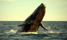 Southern Right Whale  Stock Photos