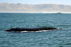 Southern Right Whale. A southern right whale near the beach at Hermanus South Africa. a common behaviour of this specie Stock Images