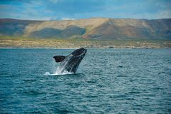 Southern Right Whale. The Southern Right Whale (Eubalaena australis) is a baleen whale, one of three species classified as the Right Whale belonging to the genus Stock Images