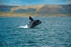 Southern Right Whale Royalty Free Stock Photos