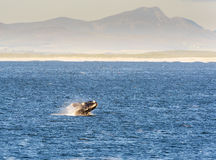 Southern Right Whale Breaches Stock Photo