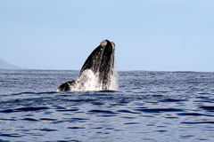 Southern Right Whale Breaching 1/4 Royalty Free Stock Photo