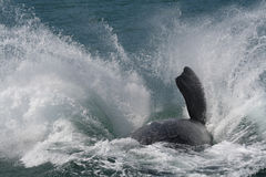 Southern right whale breaching. A close-up of a southern right whale breaching near Hermanus, South Africa Royalty Free Stock Image