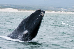 Southern Right Whale breaching Royalty Free Stock Images