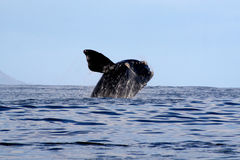 Southern Right Whale Breaching  3/4 Stock Photography