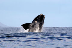 Southern Right Whale Breaching 2/4